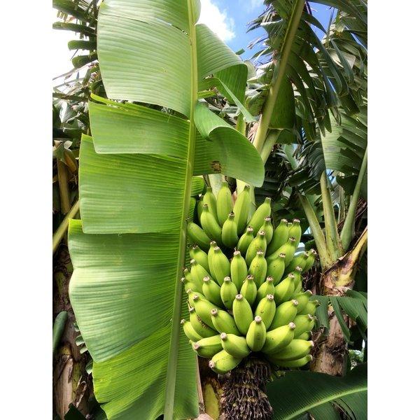島バナナ画像02