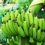 島バナナ画像
