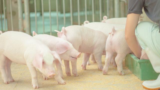 豚コレラ人感染食べたら